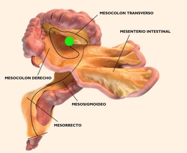 Resultado de imagen para Un nuevo órgano del cuerpo humano es descubierto en el sistema digestivo