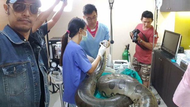 Anaconda being prepared for surgery