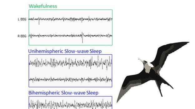 Registro de ondas cerebrales de las fragatas