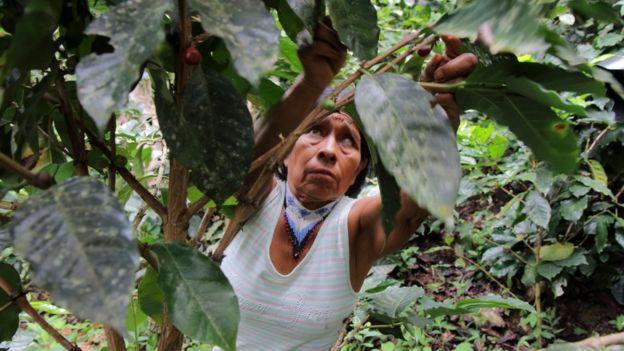 Irene Guasiruma recoge café