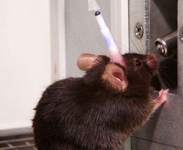 Ratón con implante, bebiendo