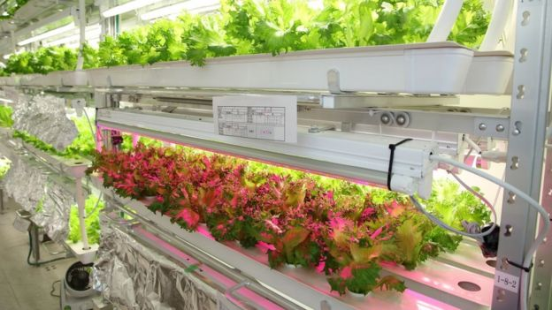 Lettuces in artificial light
