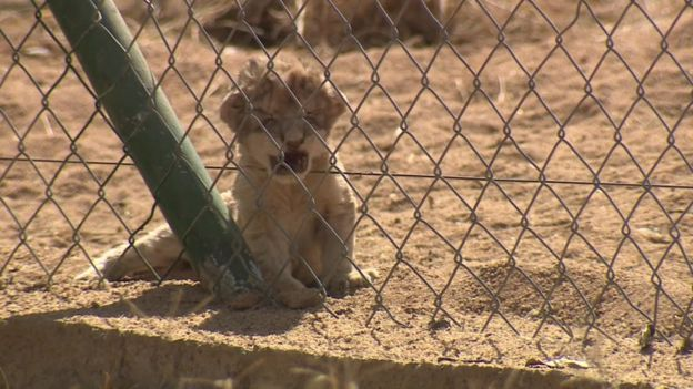 lion cub behind a fence opens mouth to yawn