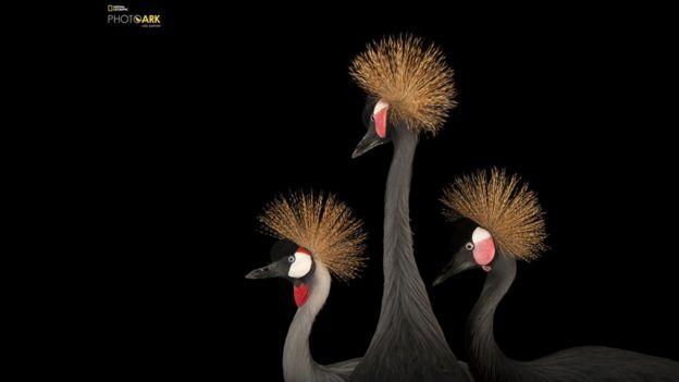 Una grulla coronada cuelligrís y dos grullas coronadas cuellinegras de África Occidental