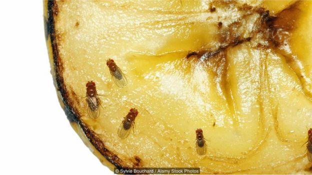 _90712101_mosca2 Mosca-da-fruta é arma para desvendar os grandes mistérios da vida Curiosidades Fotografia Pragas