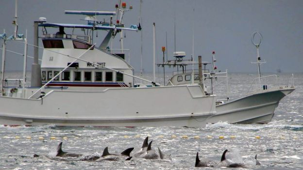 In 2009, a fishing boat sails to catch whales off Taiji, Wakayama Prefecture, western Japan, with dolphins seen in the foreground