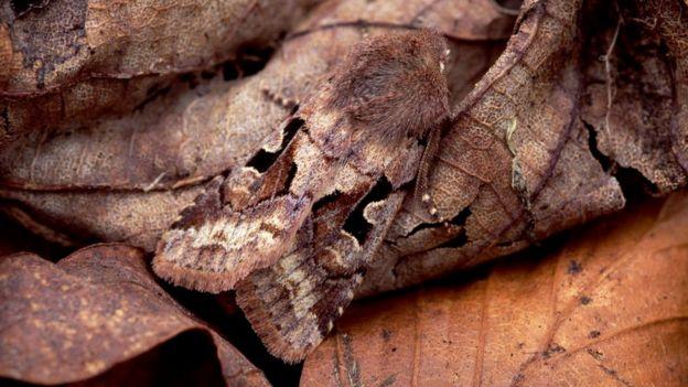 Совка готическая (Orthosia gothica)
