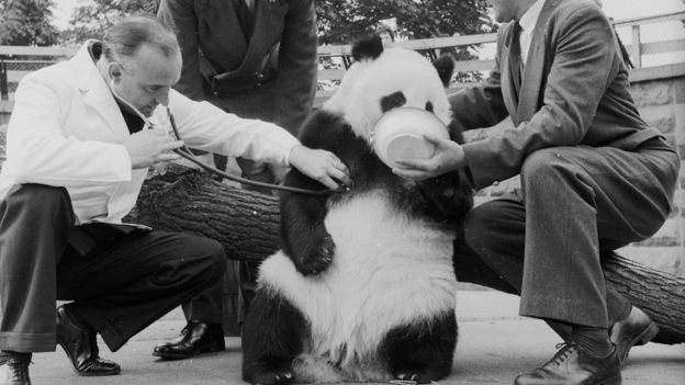 Chi Chi, London's Zoo's Giant Panda, passes her first medical test with flying colours. Sam Morton keeps her quiet with a bowl of food, watched by keeper Ted Andrews, while zoo veterinary officer Oliver Graham-Jones checks her heart.