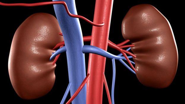 Ilustración de riñones