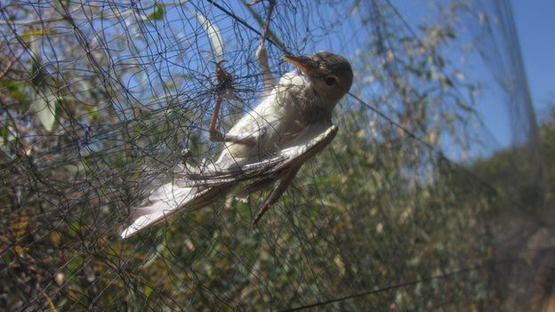 Bird in net