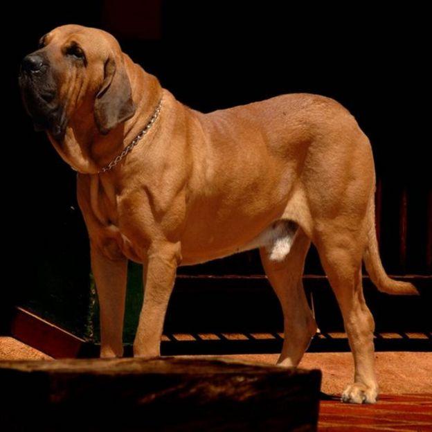 Un perro fila brasileño