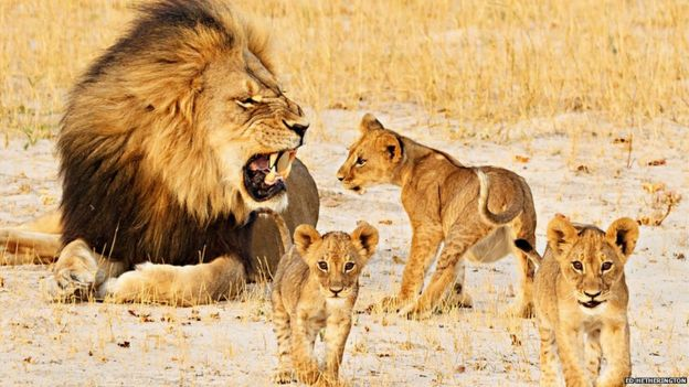 Cecil growling at his cubs