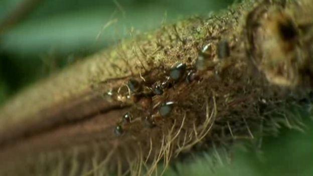 Las hormigas viven adentro de los tallos del árbol.
