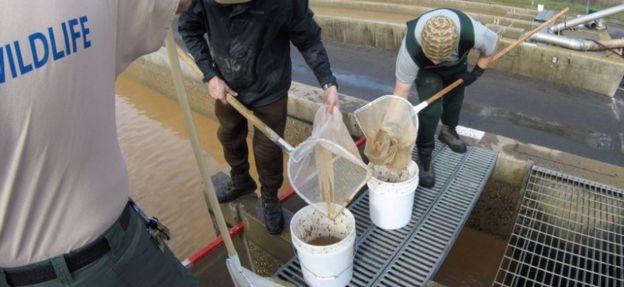Cinco millones de crías de salmón tuvieron que ser evacuadas del lago Oroville para protegerlas de las consecuencias de la erosión del desagüe de emergencia de la represa.