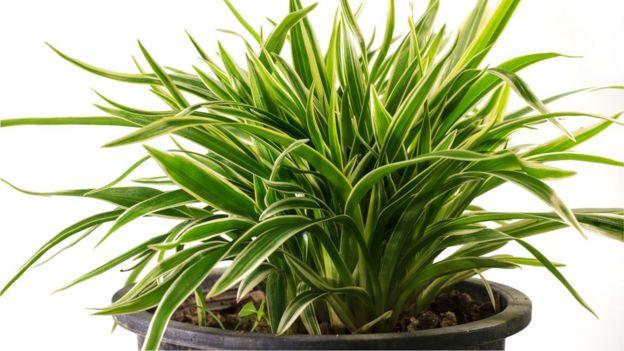 Planta Dracaena de hojas alargadas verdes sobre una maceta