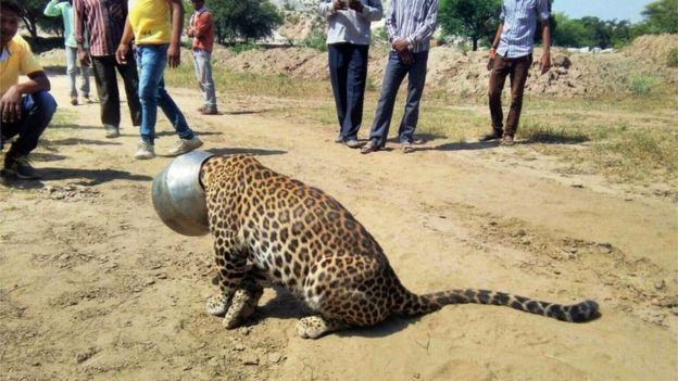 [Image: _85845182_rajasthan-leopard2.jpg]