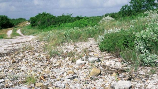 Самка малого сумеречного козодоя (Chordeiles acutipennis)