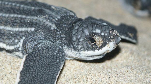 Tartaruga-de-couro