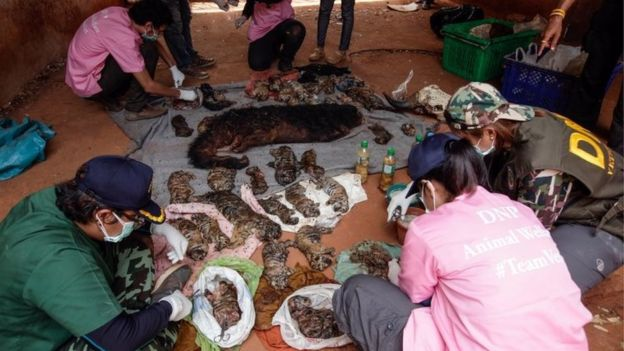 Thai DNP officers collect samples for DNA testing from the carcasses of 40 tiger cubs found undeclared at the Wat Pha Luang Ta Bua Tiger Temple on June 1, 2016 in Kanchanaburi province, Thailand.