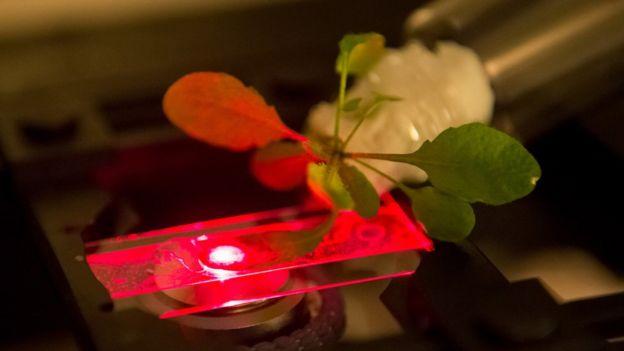Plantas nanobionicas del MIT