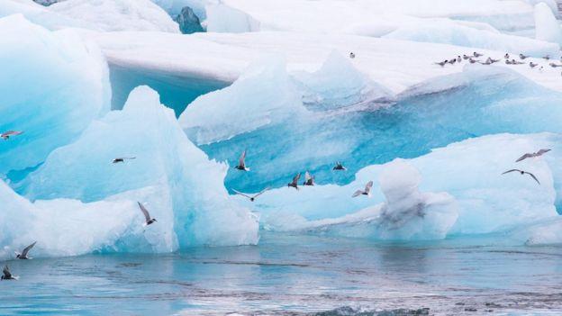 charranes o gaviotines árticos
