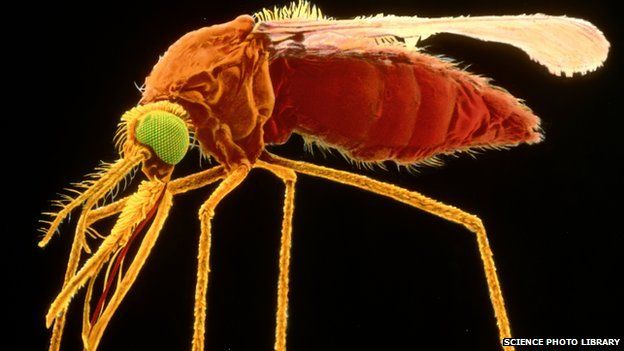 The malaria parasite Plasmodium falciparum is carried by the female anopheles mosquito