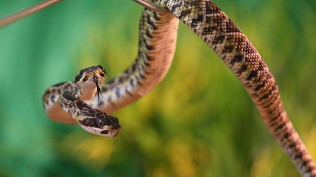 Двуглавые создания встречаются не только в мифах