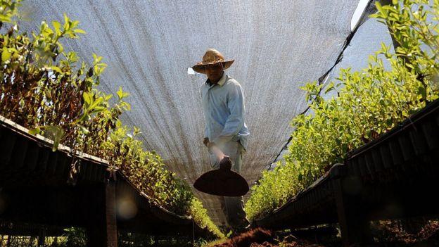 Cultivo de Paraguay