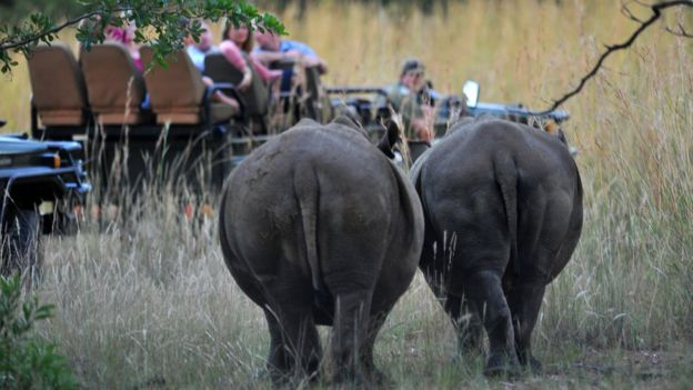 Two rhinos spotted on safari in South Africa.