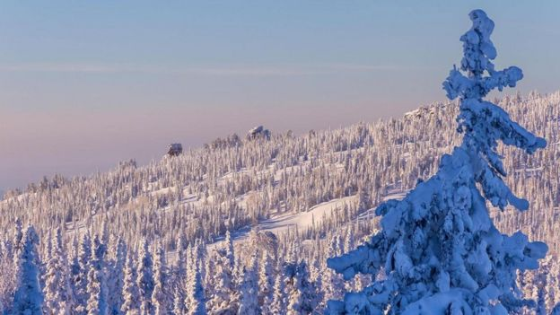 Un bosque de pinos cubiertos de nieve