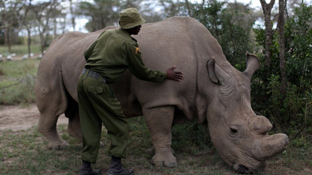 A wildlife ranger strokes a northern white rhino near Nanyuki, Laikipia County, Kenya 28 April 2016