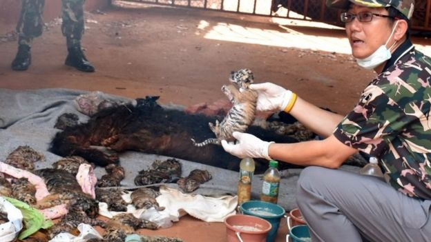 A dead tiger cub is held up by a Thai official after authorities found 40 tiger cub carcasses during a raid on the controversial Tiger Temple,