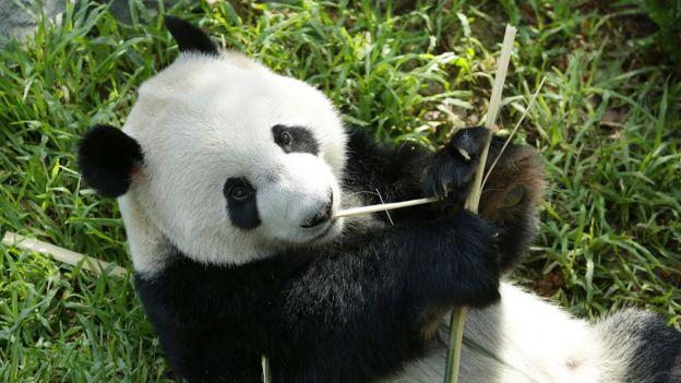 Panda gigante macho Kai Kai en las Reservas de Vida Silvestre de Singapur.