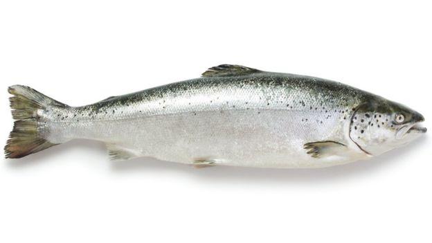 Piolho de salmão