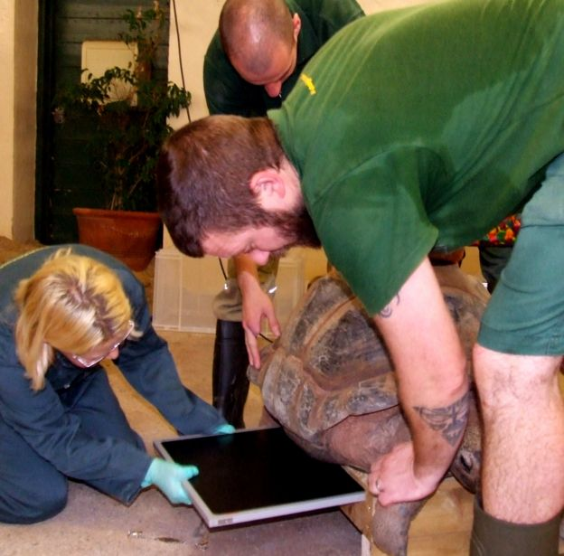 Giant tortoise being x-rayed