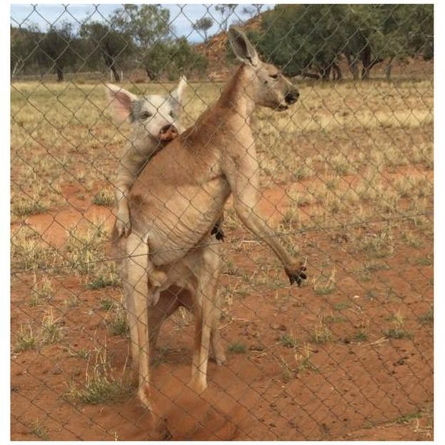 La cerda y el canguro