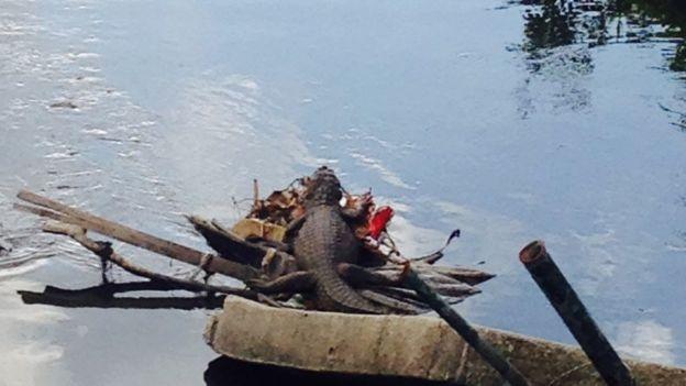 Jacaré nada em área de esgoto na região da Barra da Tijuca