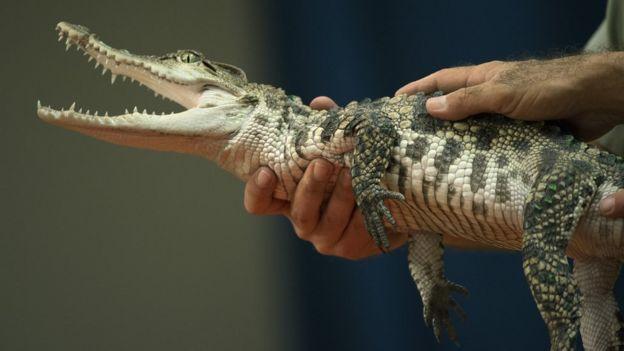 A baby nile crocodile