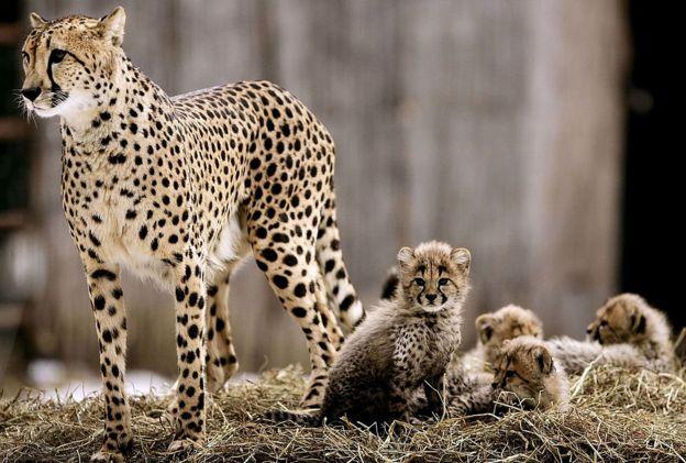 Gepard - ana balaları ilə