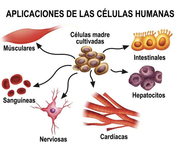 Aplicaciones de las células humanas