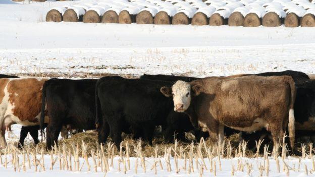 Vacas, heno y nieve