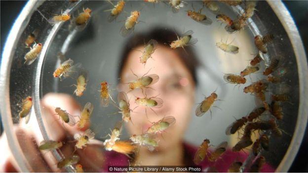 _90715865_mosca5 Mosca-da-fruta é arma para desvendar os grandes mistérios da vida Curiosidades Fotografia Pragas