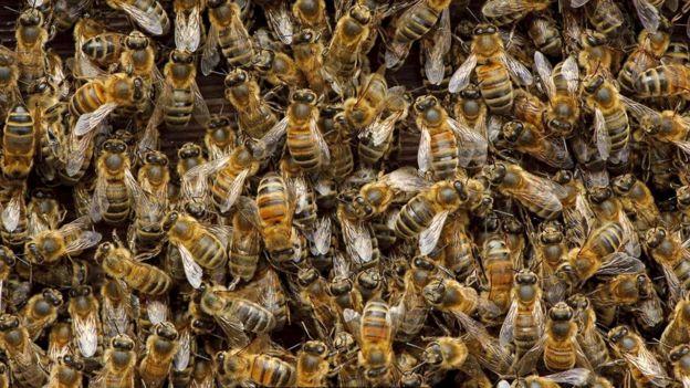 Рабочие пчелы (Apis mellifera) всю свою жизнь посвящают служению своей матке