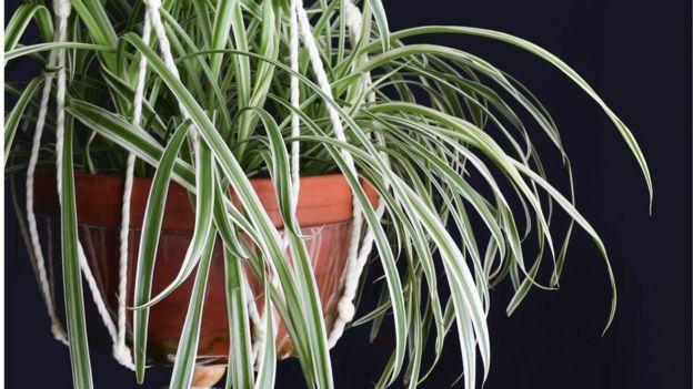 Planta Araña, con hojas largas y verdes que se desprenden a los lados de una maceta marrón.
