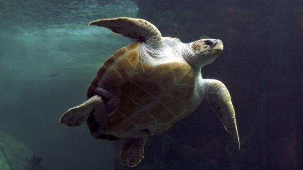 Loggerhead turtle (file photo)