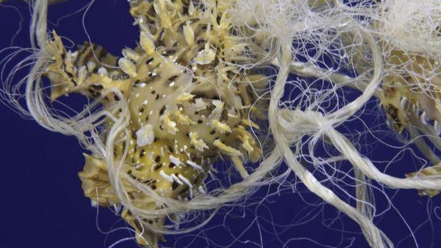Denizde naylon ipe dolanmış bir canlı