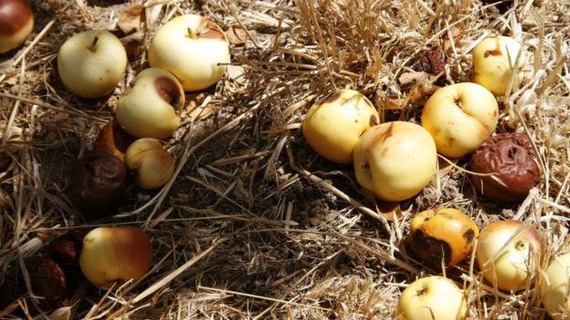 Manzanas en proceso de pudrirse