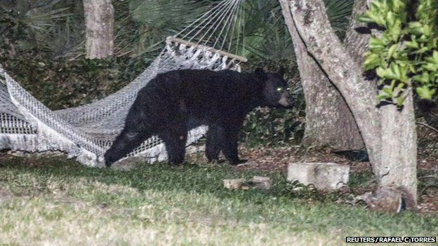 The bear stayed for about 20 minutes before heading back into the woods