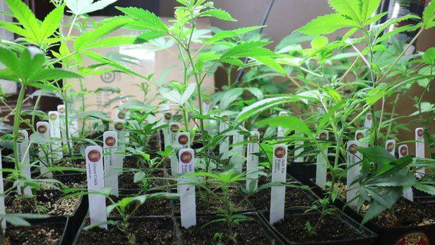 Marijuana plants on sale in a Seattle dispensary