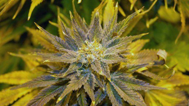 Skunk weed